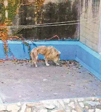 北京动物园狮子被曝骨瘦如柴